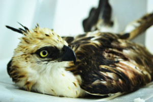 RECOVERING STEADILY. After two weeks under the care of PEF, the eagle's weight increased to 900 grams from 750 grams. Its average normal weight is 1,500 grams.
