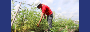 GREEN THUMB. Alejandro Villegas grows vegetables at the Therma South, Inc. baseload power plant in Davao City.